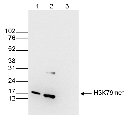 Western blot was performed on whole cell (25 μg, lane 1) and histone extracts (15 μg, lane 2) from HeLa cells, and on 1 μg of recombinant histone H3 (lane 3) using H3K79me1 Polyclonal Antibody (Cat. No. bs-53126R). The antibody was diluted 1:200 in TBS-Tween containing 5% skimmed milk.