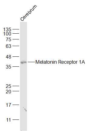 Lane 1: Cerebrum lysates probed with Melatonin Receptor 1A Antibody (bs-0027R) at 1:1000 dilution and 4˚C overnight incubation. Followed by conjugated secondary antibody incubation at 1:20000 for 60 min at 37˚C