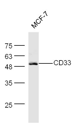 MCK-7 lysates probed with CD33 Polyclonal Antibody, Unconjugated (bs-1514R) at 1:300 dilution and 4\u02daC overnight incubation. Followed by conjugated secondary antibody incubation at 1:20000 for 60 min at 37\u02daC