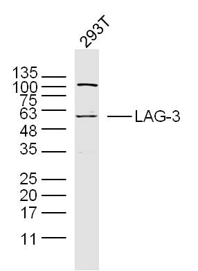 293T cell lysates probed with LAG-3 Polyclonal Antibody, Unconjugated (bs-2646R) at 1:300 dilution and 4\u02daC overnight incubation. Followed by conjugated secondary antibody incubation at 1:20000 for 60 min at 37\u02daC.