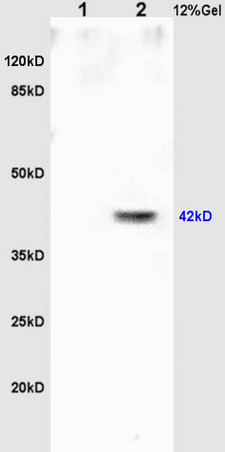 L1 rat brain lysates L2 rat heart lysates probed with Anti Oct-3\/Oct-4  Polyclonal Antibody, Unconjugated (bs-1111R) at 1:200 overnight at 4\u02daC. Followed by conjugation to secondary antibody (bs-0295G-HRP) at 1:3000 for 90 min at 37\u02daC. Predicted band 42kD. Observed band size:42kD.\\n