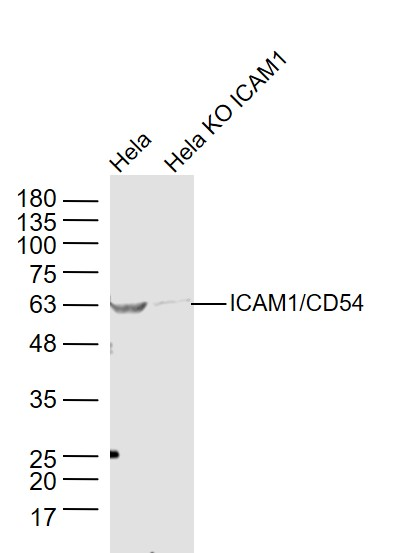 Lane 1: Hela cell lysates; Lane 2: Hela KO \r\nICAM1 cell lysates probed with ICAM1 Polyclonal Antibody, Unconjugated (bs-0608R) at 1:1000 dilution and 4\u02daC overnight incubation. Followed by conjugated secondary antibody incubation at 1:20000 for 60 min at 37\u02daC.