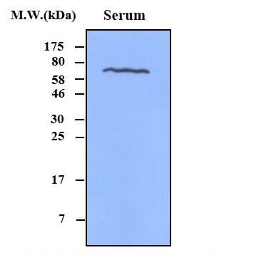 Lane 1: Human Serum (0.5uL); Probed with Complement C4 beta chain (52H10) Monoclonal Antibody, Unconjugated (bsm-50255M) at 1:1000 overnight at 4\u00b0C followed by a conjugated secondary antibody for 60 minutes at 37\u00b0C.