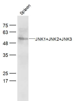 Mouse spleen lysates probed with JNK1+2+3 Polyclonal Antibody, Unconjugated (bs-2592R) at 1:300 dilution and 4\u02daC overnight incubation. Followed by conjugated secondary antibody incubation at 1:20000 for 60 min at 37\u02daC.