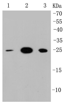 Lane 1: MCF-7; Lane 2: PC12; Lane 3: F9, probed with HMGB1 (5H4 ) Monoclonal Antibody (bsm-52250R) at 1:1000 overnight at 4°C followed by a conjugated secondary antibody for 60 minutes at 37°C.