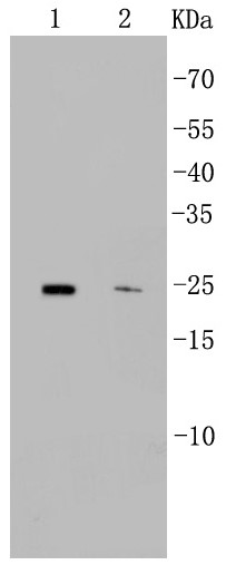 Lane 1: Mouse heart; Lane 2: Jurkat; Probed with CD9 (4C2) Monoclonal Antibody (bsm-52264R) at 1:500 overnight at 4°C followed by a conjugated secondary antibody for 60 minutes at 37°C.