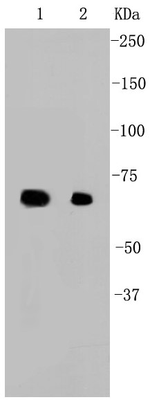 Lane 1: MCF-7; Lane 2: HCT116; Probed with Hsp70 (2G2) Monoclonal Antibody (bsm-52241R) at 1:1000 overnight at 4°C followed by a conjugated secondary antibody for 60 minutes at 37°C.