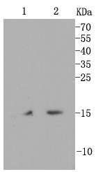 Lane 1: Hela; Lane 2: HepG2; Probed with CDT1 (2H5) Monoclonal Antibody (bsm-54038R) at 1:1000 overnight at 4°C followed by a conjugated secondary antibody for 60 minutes at 37°C.
