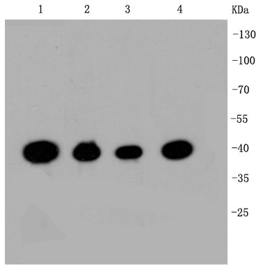Lane 1: Hela; Lane 2: HepG2; Lane 3: Jurkat; Lane 4: NIH/3T3; Probed with CREB (2B5 ) Monoclonal Antibody (bsm-52245R) at 1:1000 overnight at 4°C followed by a conjugated secondary antibody for 60 minutes at 37°C.
