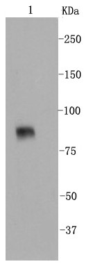 Line 1: NIH/3T3; Probed with VCAM1 (24D1) Monoclonal Antibody (bsm-52248R) at 1:1000 overnight at 4°C followed by a conjugated secondary antibody for 60 minutes at 37°C.