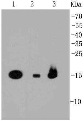 Lane 1: 293T; Lane 2: NIH/3T3; Lane 3: HepG2 lysates probed with PBR (1D4) Monoclonal Antibody (bsm-52249R) at 1:1000 dilution and incubated overnight at 4°C followed by a conjugated secondary antibody for 60 minutes at 37°C.