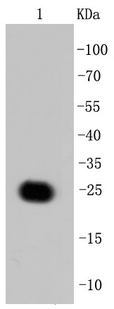 Recombinant GFP protein lysate probed with GFP (7G3) Monoclonal Antibody (bsm-52300R) at 1:1000 overnight at 4°C followed by a conjugated secondary antibody for 60 minutes at 37°C.