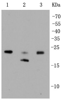 Lane 1: HepG2; Lane 2: Hela; Lane 3: Jurkat lysate probed with \r\nRho A+B+C (2G9) Monoclonal Antibody (bsm-52275R) at 1:1000 overnight at 4°C followed by a conjugated secondary antibody for 60 minutes at 37°C.
