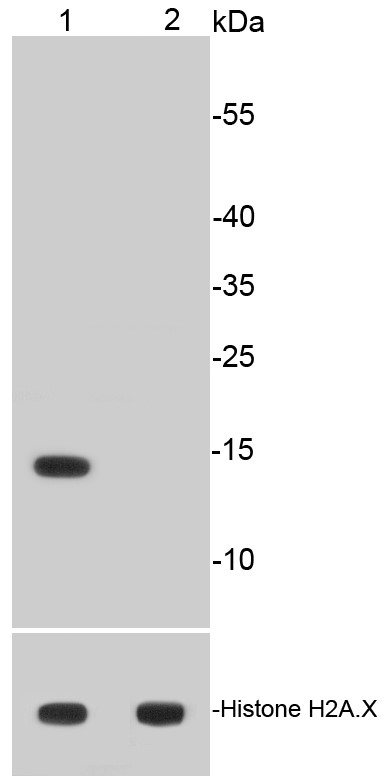 Lane 1: HeLa treated with 500 ng/ml Trichostatin A for 4 hours whole cell lysates; Lane 2: Untreated HeLa whole cell lysates probed with Histone H2A(acetyl K9) (4G2) Monoclonal Antibody (bsm-52285R) at 1:500  and unmodified Histone H2A.X antibody as control, incubated overnight at 4°C followed by a conjugated secondary antibody for 60 minutes at 37°C.