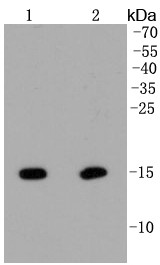 Lane 1: Hela; Lane 2: NIH/3T3 lysate probed with Histone H2A(hydroxyl Y39) (2A3) Monoclonal Antibody (bsm-52286R) at 1:1000 overnight at 4°C followed by a conjugated secondary antibody for 60 minutes at 37°C.