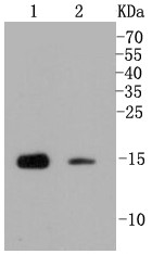 Lane 1: Mouse testis; Lane 2: CRC lysate probed with Histone H3(mono+di+methyl K79) (2B11) Monoclonal Antibody (bsm-52291R) at 1:1000 overnight at 4°C followed by a conjugated secondary antibody for 60 minutes at 37°C.