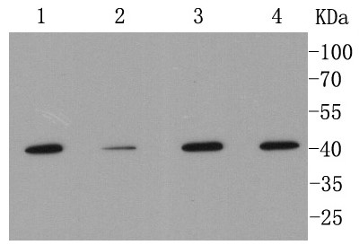 Lane 1: A549; Lane 2: Hela; Lane 3: MCF-7; Lane 4: THP-1 lysate probed with MMP12 (1A4) Monoclonal Antibody (bsm-52292R) at 1:1000 overnight at 4°C followed by a conjugated secondary antibody for 60 minutes at 37°C.