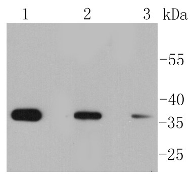 Lane 1: Hela; Lane 2: HUVEC; Lane 3: PC12 lysate probed with eIF-2a (Ser51) (8B5) Monoclonal Antibody (bsm-52306R) at 1:1000 overnight at 4°C followed by a conjugated secondary antibody for 60 minutes at 37°C.