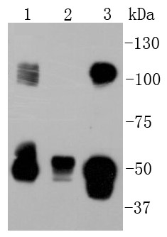 Lane 1: PC-12; Lane 2: NIH/3T3; Lane 3: Hela lysate probed with NFkB p105/p50 (12G3) Monoclonal Antibody (bsm-52309R) at 1:1000 overnight at 4°C followed by a conjugated secondary antibody for 60 minutes at 37°C.