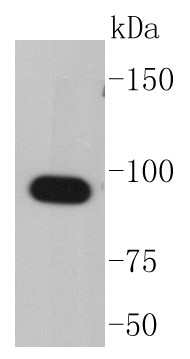 COS-1 cell lysates probed with Hsp90 alpha (2A1) Monoclonal Antibody (bsm-52353R) at 1:1000 dilution and 4˚C overnight incubation. Followed by conjugated secondary antibody incubation for 60 min at 37˚C.