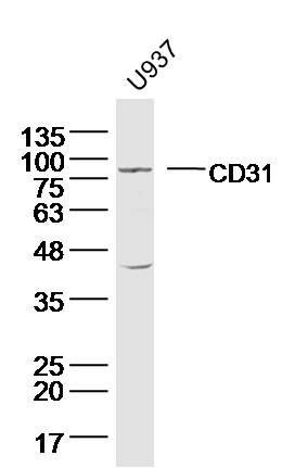 Lane 1: U937 Cells; Probed with CD31 Polyclonal Antibody, Unconjugated (bs-0468R) at 1:300 overnight at 4\u00b0C followed by incubation with a conjugated secondary antibody at 1:5000 for 60 minutes at 37\u00b0C.