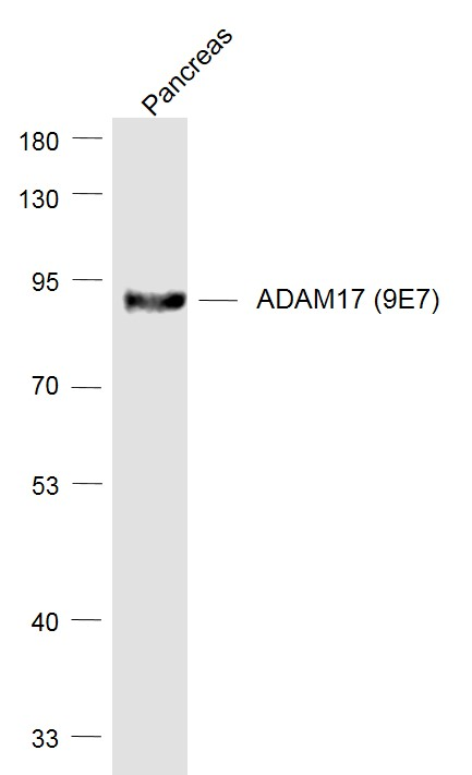 Lane 1: Pancreas lysates probed with ADAM17 (9E7) Monoclonal Antibody, Unconjugated (bsm-52009R) at 1:1000 dilution and 4\u02daC overnight incubation. Followed by conjugated secondary antibody incubation at 1:20000 for 60 min at 37\u02daC.