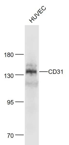 Lane 1: Huvec cell lysates probed with CD31 Polyclonal Antibody, Unconjugated (bs-0468R) at 1:1000 dilution and 4\u02daC overnight incubation. Followed by conjugated secondary antibody incubation at 1:20000 for 60 min at 37\u02daC.