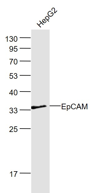 Lane 1: HepG2 lysates probed with EpCAM\/CD326 Polyclonal Antibody, Unconjugated (bs-1513R) at 1:1000 dilution and 4\u02daC overnight incubation. Followed by conjugated secondary antibody incubation at 1:20000 for 60 min at 37\u02daC.