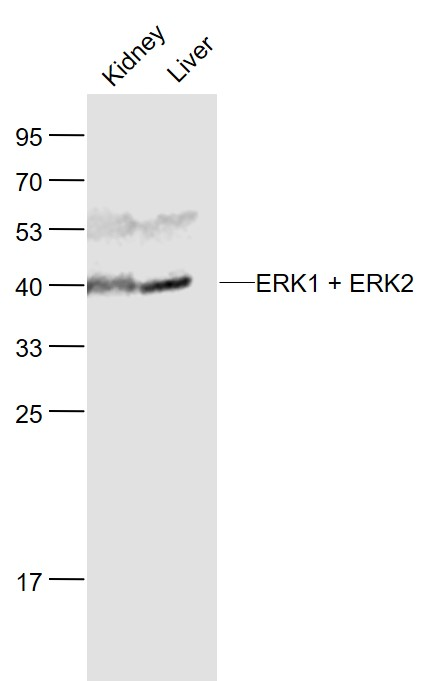 Lane 1: Mouse Kidney lysates; Lane 2: Mouse Liver lysates probed with ERK1 + 2 Polyclonal Antibody, Unconjugated (bs-2637R) at 1:1000 dilution and 4\u02daC overnight incubation. Followed by conjugated secondary antibody incubation at 1:20000 for 60 min at 37\u02daC.