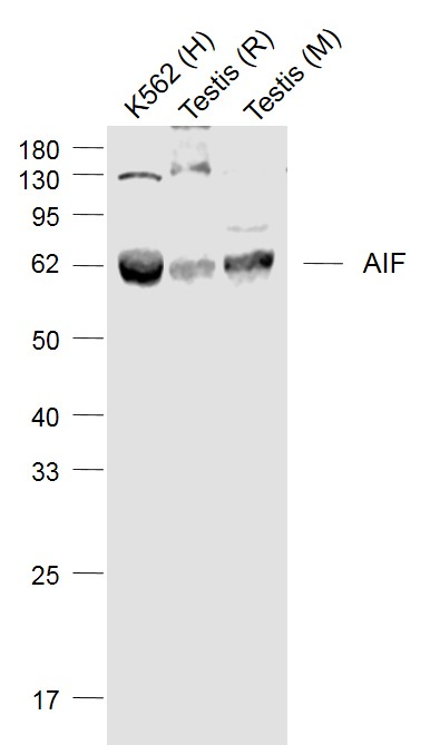 Lane 1: K562 cell lysates; Lane 2: Rat Testis lysates; Lane 3: Mouse Testis lysates probed with AIF Polyclonal Antibody, Unconjugated (bs-0037R) at 1:1000 dilution and 4\u02daC overnight incubation. Followed by conjugated secondary antibody incubation at 1:20000 for 60 min at 37\u02daC.