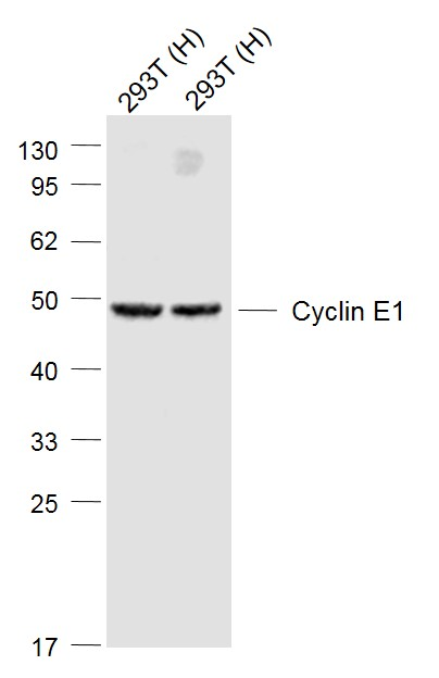 Lane 1: 293T cell lysates; Lane 2: 293T cell lysates probed with Cyclin E1 Polyclonal Antibody, Unconjugated (bs-0573R) at 1:1000 dilution and 4\u02daC overnight incubation. Followed by conjugated secondary antibody incubation at 1:20000 for 60 min at 37\u02daC.