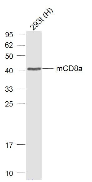 Lane 1: mCD8a overexpression 293T cell lysates probed with CD8a Polyclonal Antibody, Unconjugated (bs-0648R) at 1:1000 dilution and 4˚C overnight incubation. Followed by conjugated secondary antibody incubation at 1:20000 for 60 min at 37˚C.