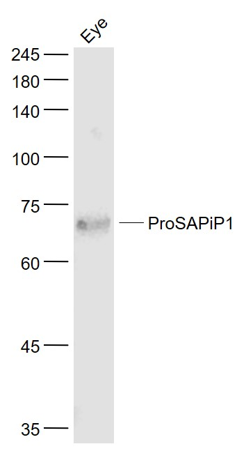 Lane 1: Mouse Eye lysates probed with ProSAPiP1 Polyclonal Antibody, Unconjugated (bs-11198R) at 1:1000 dilution and 4\u02daC overnight incubation. Followed by conjugated secondary antibody incubation at 1:20000 for 60 min at 37\u02daC.