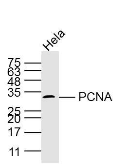 Lane 1: Hela cell lysates probed with PCNA(1C11) Monoclonal Antibody, Unconjugated (bsm-2006M) at 1:1000 dilution and 4\u02daC overnight incubation. Followed by conjugated secondary antibody incubation at 1:20000 for 60 min at 37\u02daC.