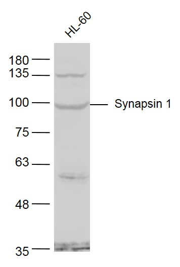 Lane 1: HL60 cell lysates probed with Synapsin 1 Polyclonal Antibody, Unconjugated (bs-3501R) at 1:1000 dilution and 4\u02daC overnight incubation. Followed by conjugated secondary antibody incubation at 1:20000 for 60 min at 37\u02daC.
