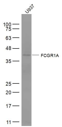 Lane 1: U937 cell lysates probed with FCGR1A\/CD64 Polyclonal Antibody, Unconjugated (bs-3511R) at 1:1000 dilution and 4\u02daC overnight incubation. Followed by conjugated secondary antibody incubation at 1:20000 for 60 min at 37\u02daC.
