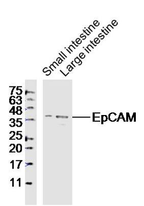 Lane 1: Mouse Small intestine lysates; Lane 2: Mouse Large intestine lysates probed with EpCAM\/CD326 Polyclonal Antibody, Unconjugated (bs-1513R) at 1:1000 dilution and 4\u02daC overnight incubation. Followed by conjugated secondary antibody incubation at 1:20000 for 60 min at 37\u02daC.