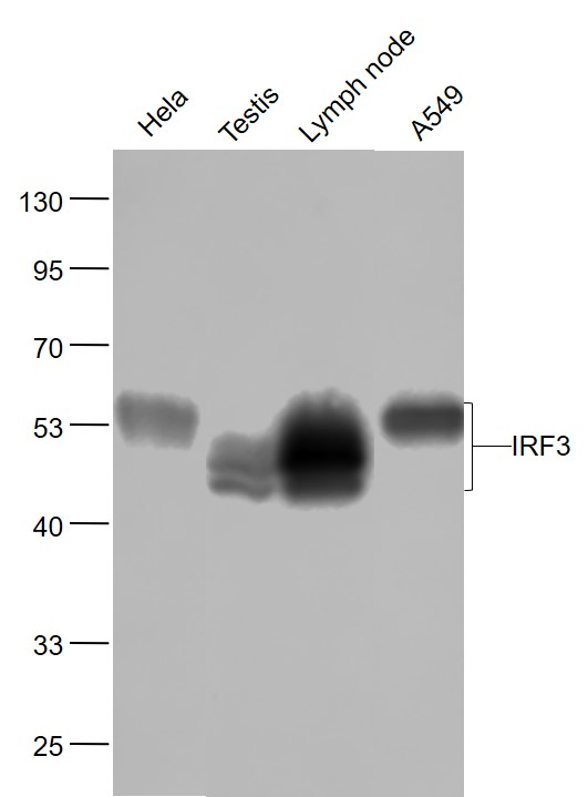 Lane 1: Hela cell lysates; Lane 2: Mouse Testis lysates; Lane 3: Mouse Lymph node lysates; Lane 4: A549 cell lysates probed with IRF3 Monoclonal Antibody, Unconjugated (bsm-52116R) at 1:1000 dilution and 4\u02daC overnight incubation. Followed by conjugated secondary antibody incubation at 1:20000 for 60 min at 37\u02daC.