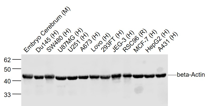 Lane 1: Mouse Embryo Cerebrum lysates; Lane 2: Human Du145 cell lysates; Lane 3: Human SW480 cell lysates; Lane 4: Human U87MG cell lysates ; Lane 5: Human U251 cell lysates; Lane 6: Human A673 cell lysates; Lane 7: Human Lovo cell lysates; Lane 8: Human 293FT cell lysates; Lane 9: Human JEG-3 cell lysates; Lane 10: Rat RSC96 cell lysates; Lane 11: Human MCF-7 cell lysates ; Lane 12: Human HepG2 cell lysates; Lane 13: Human A431 cell lysates probed with beta Actin Polyclonal Antibody, Unconjugated (bs-0061R) at 1:2000 dilution and 4\u02daC overnight incubation. Followed by conjugated secondary antibody incubation at 1:20000 for 60 min at 37\u02daC.