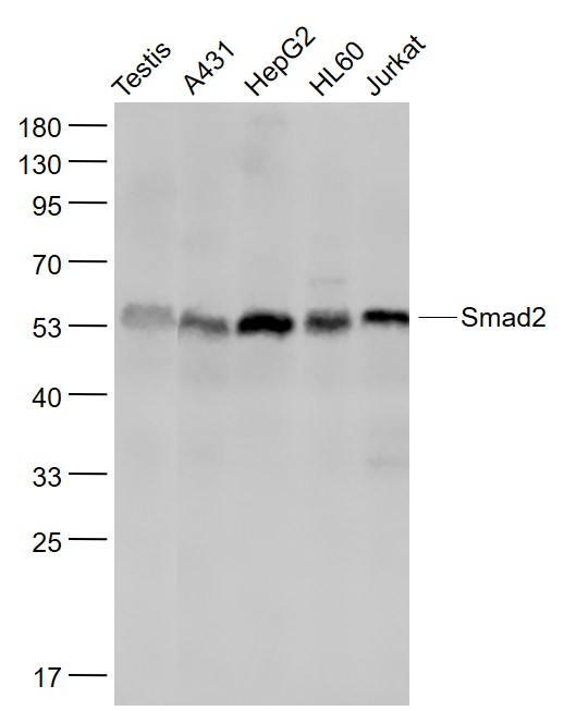 Lane 1: MouseTestis lysates; Lane 2: Human A431 cell lysates; Lane 3: Human HepG2 cell lysates; Lane 4: Human HL60 cell lysates; Lane 5: Human Jurkat cell lysates probed with Smad2 monoclonal Antibody, Unconjugated (bsm-52223R) at 1:1000 dilution and 4\u02daC overnight incubation. Followed by conjugated secondary antibody incubation at 1:20000 for 60 min at 37\u02daC.