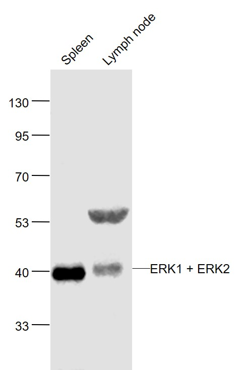 Lane 1: Mouse Spleen lysates; Lane 2: Mouse Lymph node lysates probed with ERK1 + 2 Polyclonal Antibody, Unconjugated (bs-2637R) at 1:1000 dilution and 4\u02daC overnight incubation. Followed by conjugated secondary antibody incubation at 1:20000 for 60 min at 37\u02daC.