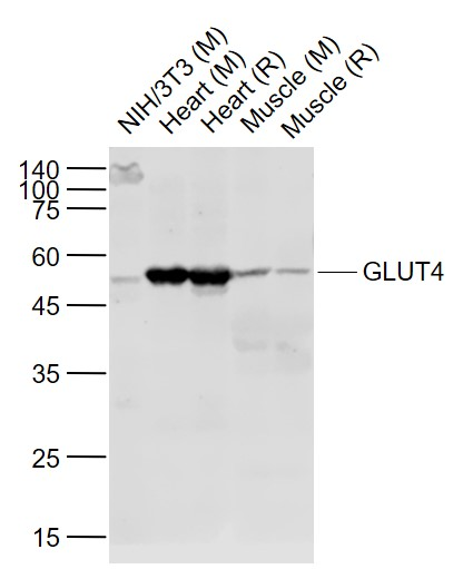Lane 1: Mouse NIH\/3T3 cell lysates; Lane 2: Mouse Heart lysates; Lane 3: Rat Heart lysates; Lane 4: Mouse Muscle lysates; Lane 5: Rat Muscle lysates probed with GLUT4 Polyclonal  Antibody, Unconjugated (bs-0384R) at 1:1000 dilution and 4\u02daC overnight incubation. Followed by conjugated secondary antibody incubation at 1:20000 for 60 min at 37\u02daC.