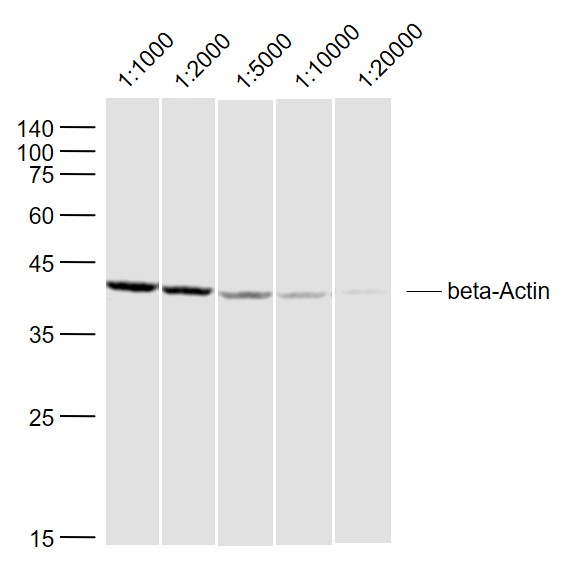 Sample:\r\nLymph node (Rat) Lysate at 40 ug\r\nPrimary:\r\nAnti-beta-Actin (bs-0061R) at 1\/1000~1\/20000 dilution\r\nSecondary: IRDye800CW Goat Anti-Rabbit IgG at 1\/20000 dilution\r\nPredicted band size: 42 kD\r\nObserved band size: 42 kD