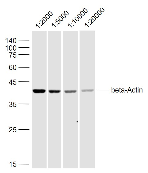 Sample:\r\nSH-SY5Y (Human) Lysate at 40 ug\r\nPrimary:\r\nAnti-beta-Actin (bs-0061R) at 1\/2000~1\/20000 dilution\r\nSecondary: IRDye800CW Goat Anti-Rabbit IgG at 1\/20000 dilution\r\nPredicted band size: 42 kD\r\nObserved band size: 42 kD