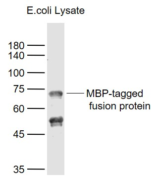 Lane 1: MBP-tagged fusion protein Overexpression E.coli Lysate (Cat#: bs-33131P)  probed with Maltose Binding Protein\/MBP Polyclonal  Antibody, Unconjugated (bs-2967R) at 1:1000 dilution and 4\u02daC overnight incubation. Followed by conjugated secondary antibody incubation at 1:20000 for 60 min at 37\u02daC.
