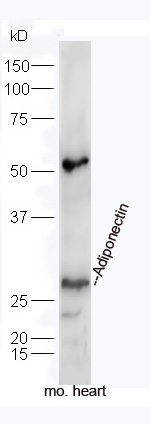 Mouse heart lysates probed with Rabbit Anti-Adiponectin Polyclonal Antibody, Unconjugated (bs-0471R) at 1:300 overnight at 4\u02daC. Followed by a conjugated secondary antibody (bs-0295G-HRP) at 1:5000 for 90 min at 37\u02daC.