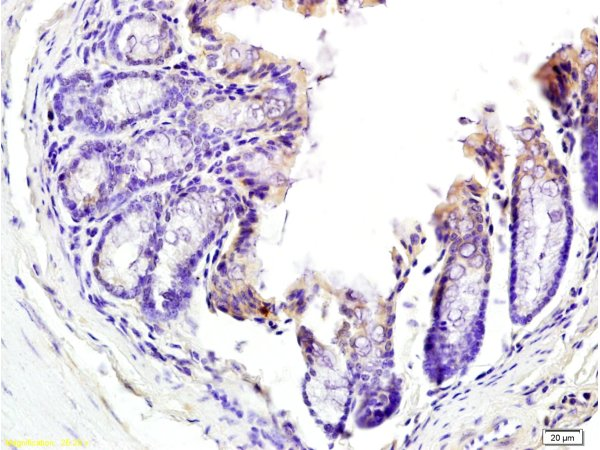 Formalin-fixed and paraffin embedded mouse colon tissue labeled with Anti-TNFSF18 Polyclonal Antibody, Unconjugated (bs-2456R) at 1:200 followed by conjugation to the secondary antibody and DAB staining