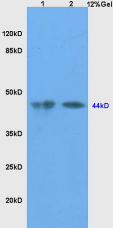 L1 mouse testis lysates, L2 mouse liver lysates probed with Anti-SHBG Polyclonal Antibody, Unconjugated (bs-1175R) at 1:200 in 4˚C. Followed by conjugation to secondary antibody (bs-0295G-HRP) at 1:3000 90min in 37˚C. Predicted band and observed band size: 44kD