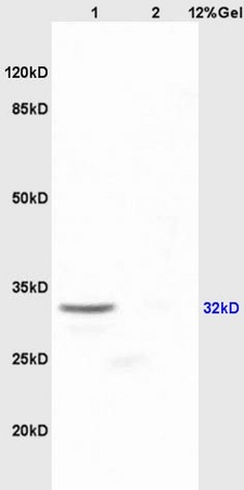 Lane 1: mouse embryo lysates Lane 2: mouse lung lysates probed with Anti SOX2 Polyclonal Antibody, Unconjugated (bs-0523R) at 1:200 in 4˚C. Followed by conjugation to secondary antibody (bs-0295G-HRP) at 1:3000 90min in 37˚C. Predicted band 32kD. Observed band size: 32kD.