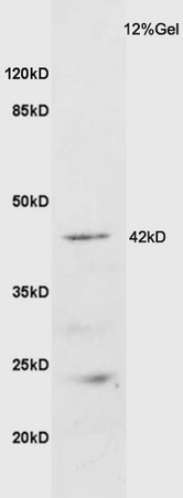 Mouse brain lysate probed with Anti GALR2 Polyclonal Antibody, Unconjugated (bs-11527R) at 1:200 overnight at 4\u02daC. Followed by conjugation to secondary antibody (bs-0295G-HRP) at 1:3000 for 90 min at 37\u02daC. Predicted band 42kD. Observed band size: 42kD